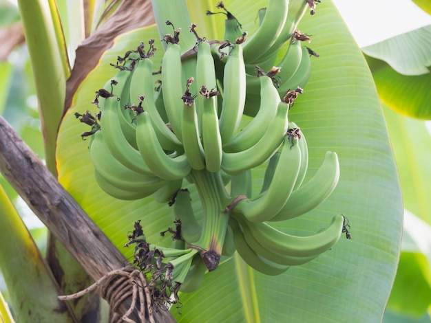 Группа бананов гро мишель, висит на ветке, сырые фрукты