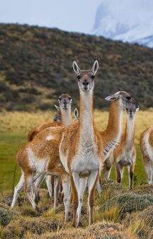 Группа верблюдовых гуанако в природе