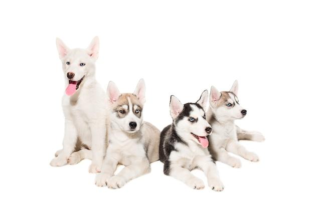 Группа счастливых щенков сибирской хаски на белом. красивые щенки