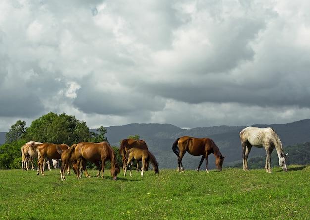 夏の日に牧草地で放牧している馬と子馬のグループ