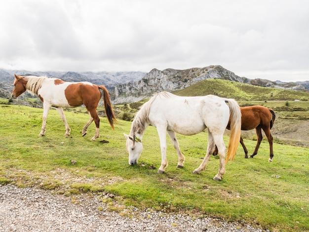 Группа лошадей в горах на озерах ковандонга, астурия, испания