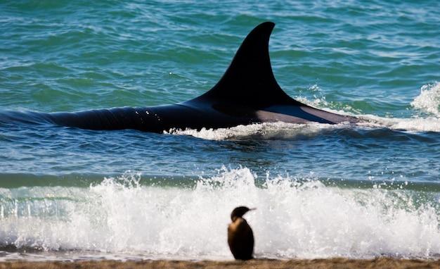 バルデス半島の海域にいるシャチのグループ