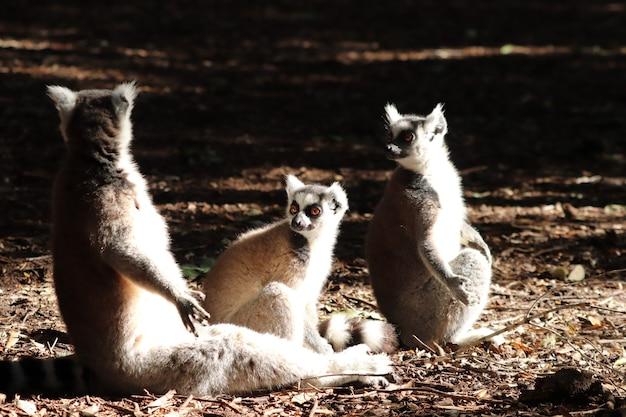 森の真ん中で泥だらけの地面に座っているキツネザルのグループ