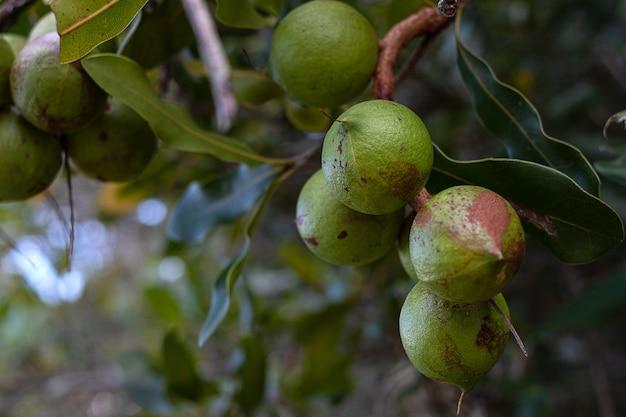 흐릿한 배경의 농장에 있는 나무에 있는 마카다미아 너트 그룹