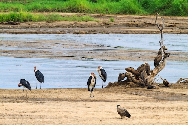 Группа марабу на берегу. танзанья, африка