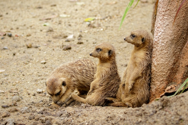 자연 배경에 meerkat (suricata suricatta)의 그룹입니다. 야생 동물.