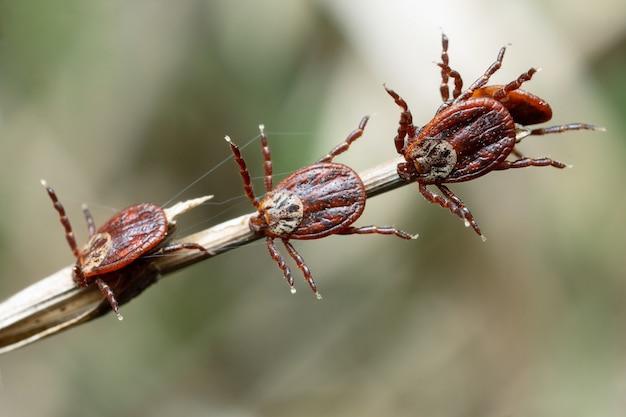 Группа клещей, сидящих на стебле сухой травы в природе макроса