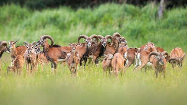 Группа в составе муфлоны стоя на луге в лете.