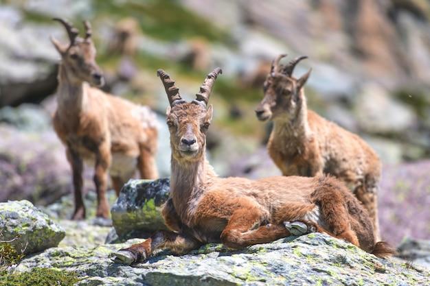 新しいコートの前の初夏の山ヤギのグループ