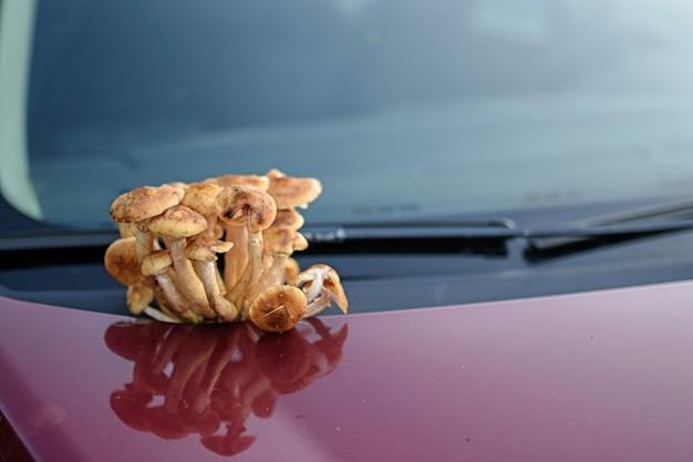 車のボンネットにはきのこが植えられています。秋のブランクの広告。
