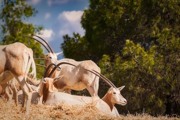 Группа oryx dammah в природе