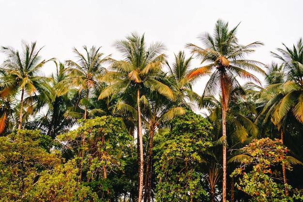 다른 나무 사이 야자수의 그룹입니다. 코스타리카