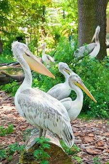 自然動物園のペリカンのグループ