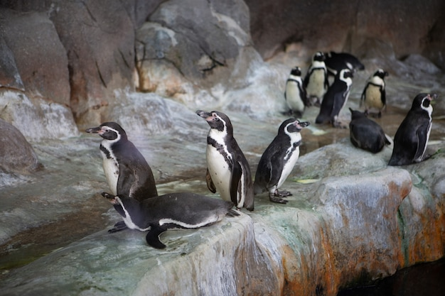 動物園の岩の上のペンギンのグループ