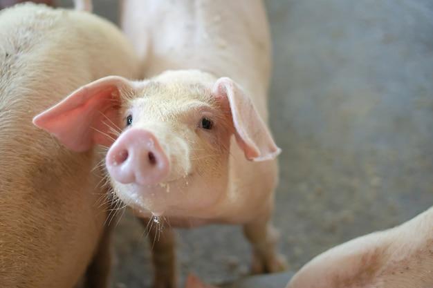 가축의 현지 돼지 농장에서 건강하게 보이는 돼지의 그룹.