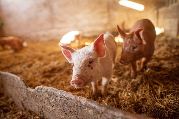 動物農場で豚のグループ。