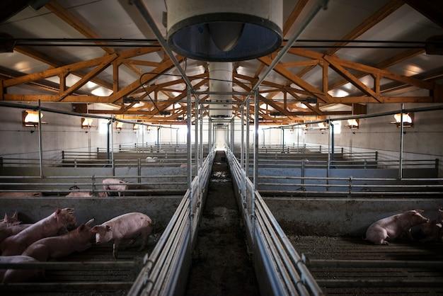 Группа домашних животных свиней на свиноферме
