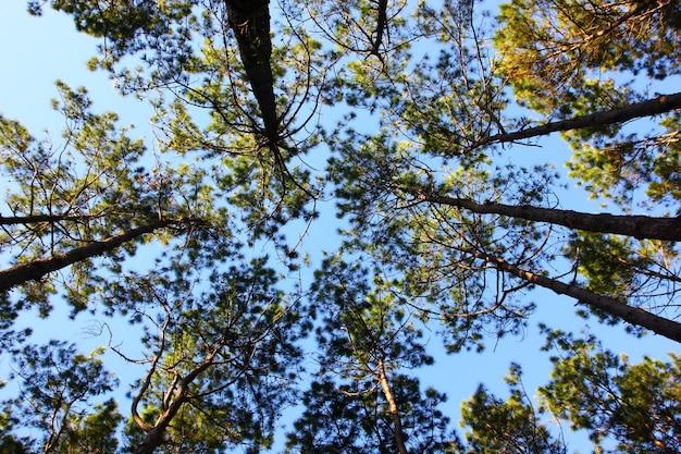 青い空の自然な背景を持つ松のグループ