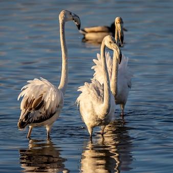 アンプルダン湿地の自然公園内のピンクのフラミンゴのグループ。