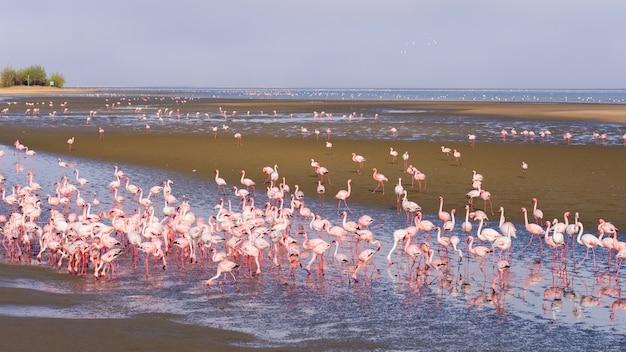 Группа в составе розовые фламинго на море на заливе walvis, намибии, африке.