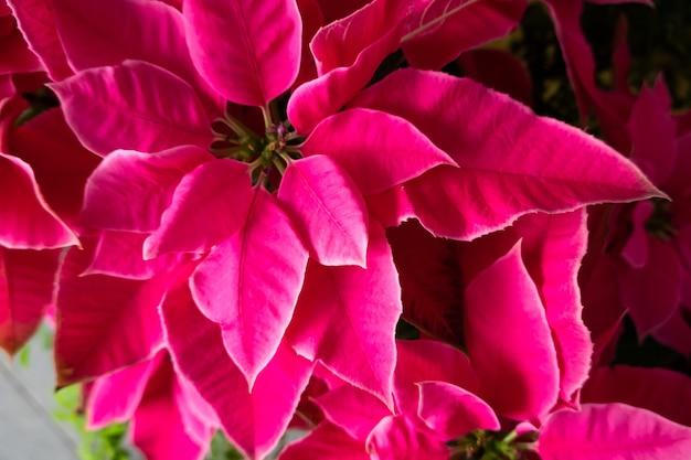 自宅でピンクのポインセチアの花のグループ