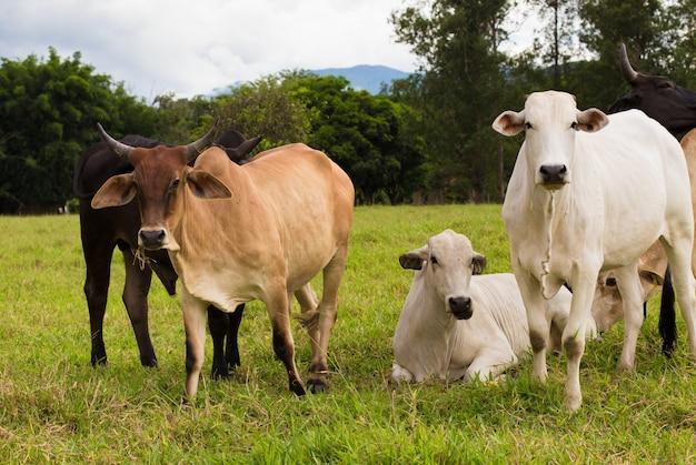 Группа довольно бразильских коров на пастбище в пасмурный день