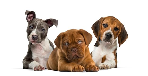 Группа щенков, лежащих изолированно