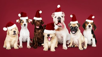 Group of puppies wearing Christmas hats