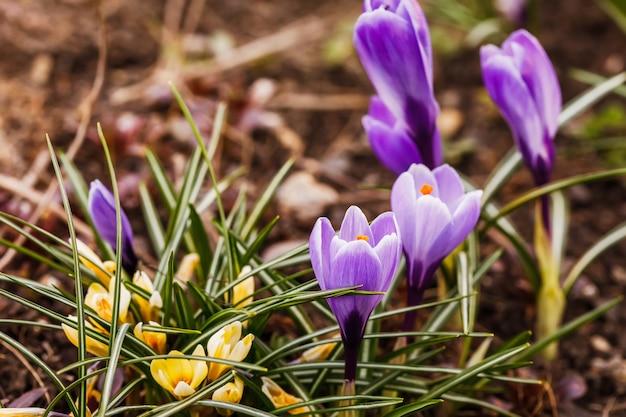 春の庭の紫のクロッカスロンギフロラスの花のグループ