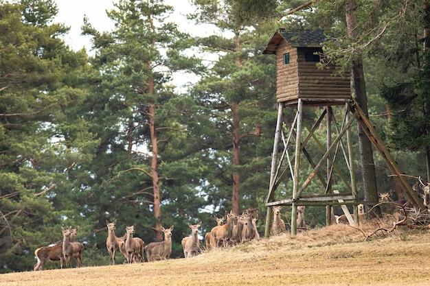 Группа благородных оленей, стоящих ниже охотничьего высокого стояния в лесу в осенней природе