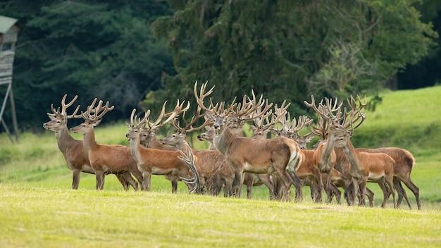 Группа благородных оленей, стоящих на поле в летней природе