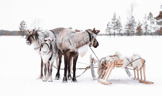 Группа оленей с деревянными упряжками в снегу в сибирской тайге