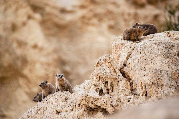 岩の上に座ってロックハイラックスのグループ
