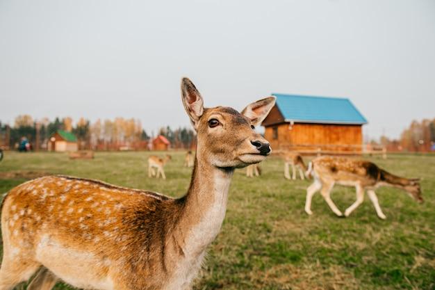 夏の屋外動物園のノロジカ野生動物のグループ。草を食べて屋外の大きな鹿家族。