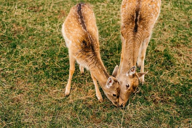 夏の屋外動物園のノロジカ野生動物のグループ。哺乳類の美しい動物の習慣。
