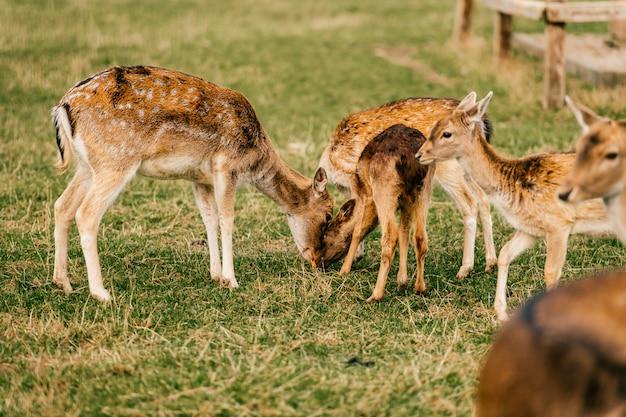 夏の屋外動物園のノロジカ野生動物のグループ。