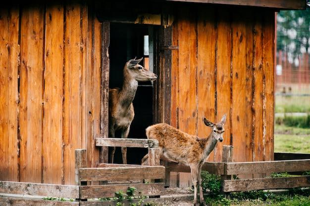 Группа косули дикой природы в зоопарке на открытом воздухе