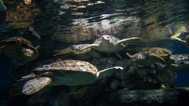 일본 나고야 수족관에서 수영하는 바다거북 무리. 해양 해양 동물을 볼 수 있는 유명한 여행지.