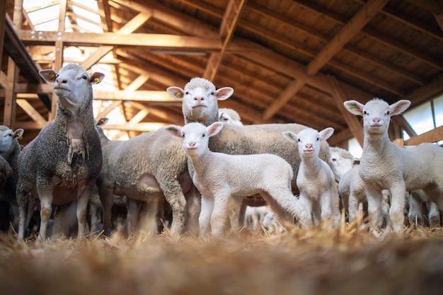 農場の木造の納屋にいる羊と子羊の家畜のグループ。