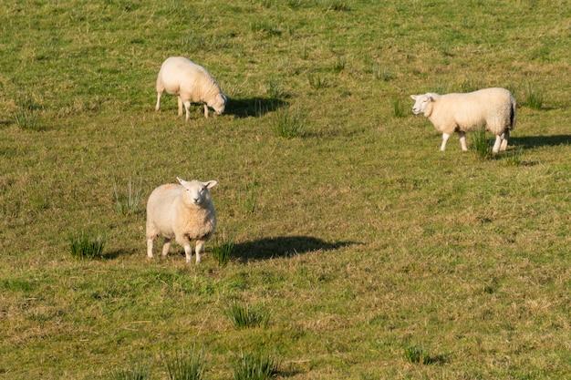 北アイルランドの緑の牧草地の羊のグループ