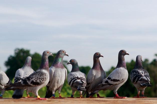 屋根の上に立っているスピードレーシング鳩のグループ