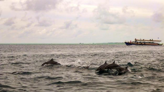 モルディブのハシナガイルカのグループ。