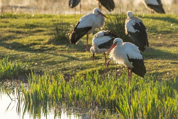 Ampurdan의 습지의 자연 공원에서 새벽에 황새의 그룹.