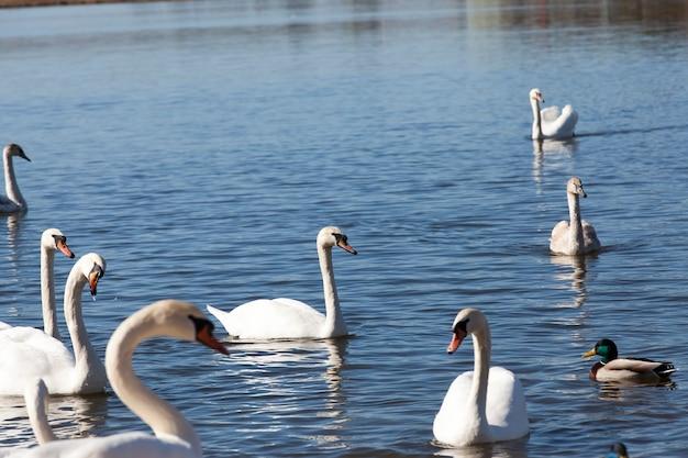 봄에 백조 무리, 아름다운 물새 무리 봄에 호수에 있는 백조 새, 호수 또는 백조가 있는 강