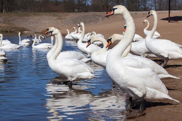 春の白鳥のグループ、美しい水鳥のグループ春の湖の白鳥の鳥、上陸した白鳥と湖または川、クローズアップ