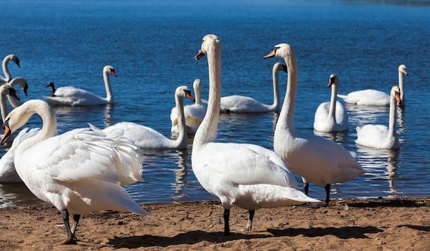 Группа лебедей весной, группа красивых водоплавающих птиц лебединая птица на озере весной, озеро или река с лебедями, вышедшими на берег, крупным планом