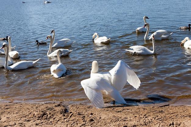 Группа лебедей весной, красивая группа водоплавающих птиц птица-лебедь на озере весной, озеро или река с лебедями, которые вышли на берег