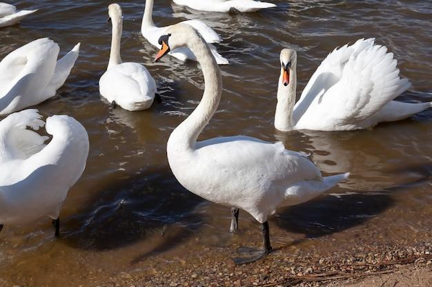 Группа лебедей