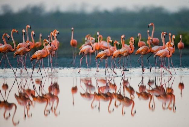 カリブ海のフラミンゴのグループが反射して水中に立っています