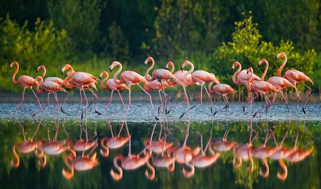 Группа карибских фламинго, стоящих в воде с отражением. куба. заповедник рио-максим